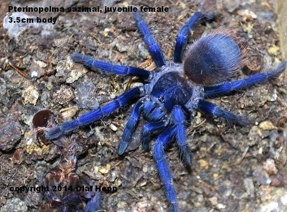 Brazlian Blue (Pterinopelma sazimai)