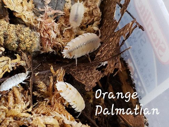 Orange Dalmatian Scaber (Porcellio scaber)