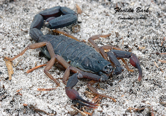 Florida Bark Scorpion (Centruroides gracilis)