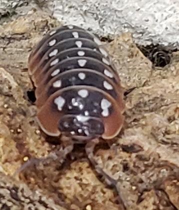 """Clown Isopod (Armadillidium klugii """"Montenegro"""")"""