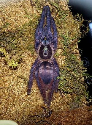 Purple Tree Spider (Tapinauchenius violaceus)