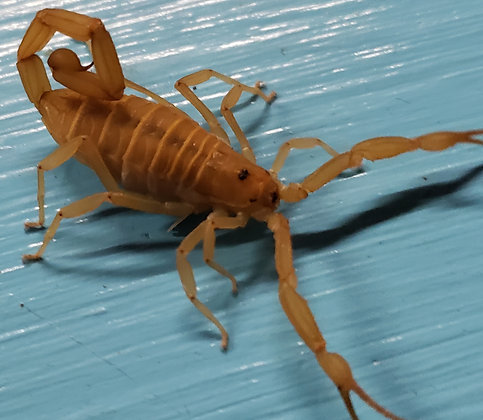 Arizona Bark Scorpion (Centruroides sculpturatus)