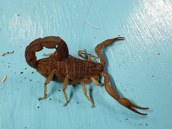 South African Ground Scorpion (Hottentotta hottentotta)