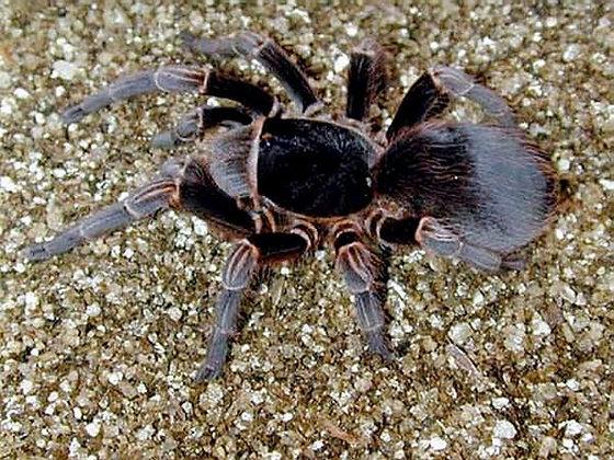 Brazilian Black Velvet (Acanthoscurria musculosa)