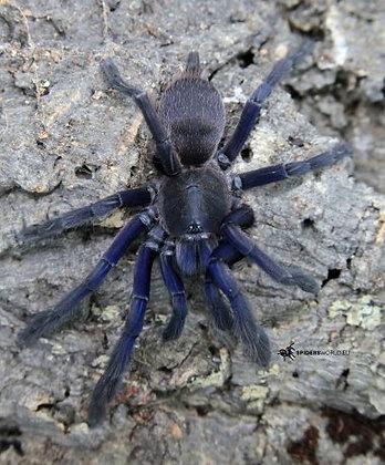 Vietnam Blue (Chilobrachys dyscolus)