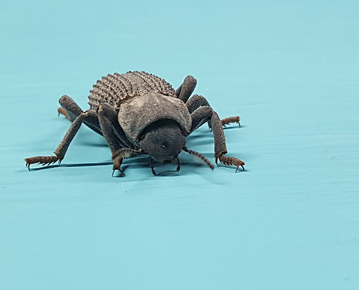 Blue Death Feigning Beetles (Asbolus verrucosus)