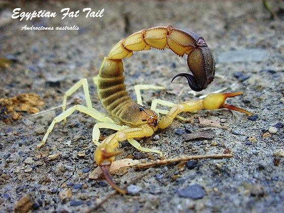Egyptian Fat-Tail Scorpion (Androctonus australis)