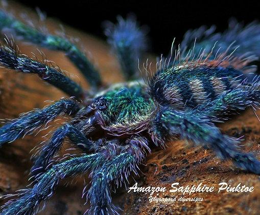 Amazon Sapphire Pinktoe (Ybyrapora diversipes)
