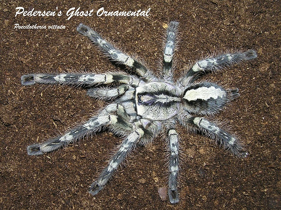 Ghost Ornamental (Poecilotheria vittata)