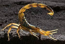Deathstalker Scorpion (Leiurus quinquestriatus)