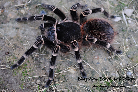 Brazilian Black and White (Acanthoscurria brocklehursti)