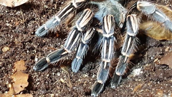 Costa Rican Zebra/Stripe Knee (Aphonopelma seemani)
