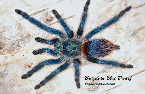 Brazilian Blue Dwarf Beauty (Dolichothele diamantinensis)