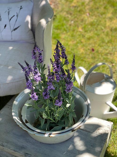 Purple Veronica in pot