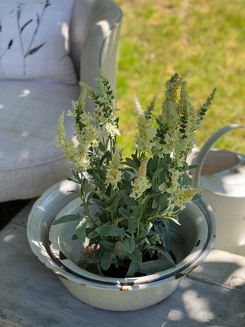 White Veronica in pot