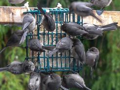 Backyard Birding in Leschi and Madrona