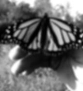 Monarch_edited.jpg