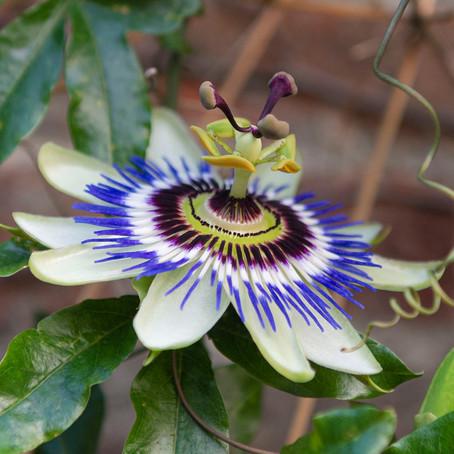 Episodio 16: Pasiflora, Tristeza y Aguas Profundas