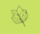 tulip poplar (2).png