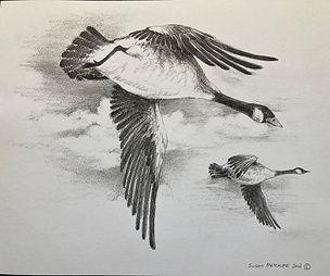 Canada geese flyover