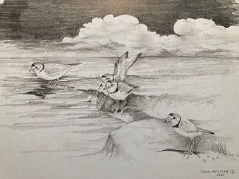 Piping plovers on the Cape