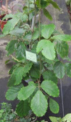Комнатный виноград, молодые тетрастигмы Вуанье, быстрорастущая лиана с крупными листьями