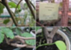 Комнатная лиана тетрастигма Вуанье - маточник с толстыми стволами