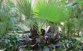 """Большие тропические деревья """"Зимнего сада"""" до 6 метров высотой в оранжереи и на объектах"""