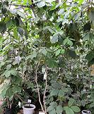 тропические деревья из теплицы в Москве