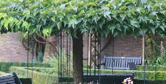 Morus Platanifolia Fruitless TIGE
