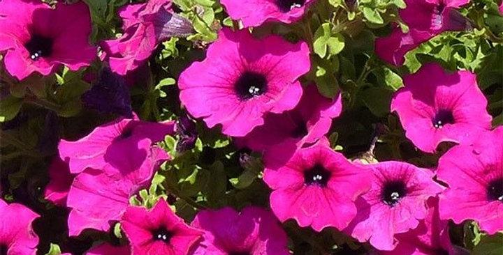 Surfinia purple(Barquette de 6 plants)