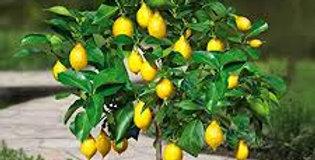 CITRUS Limon - citronnier