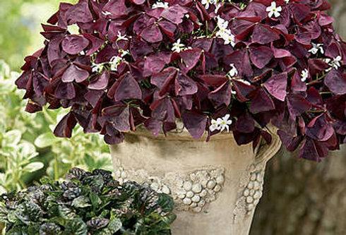 Oxalis Burgundy (Pot 1L ou 3L)