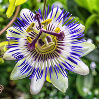 passiflora caerulea.jpg