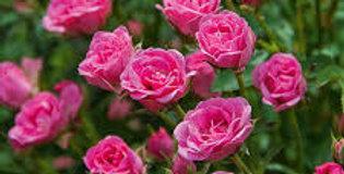 ROSIER Lilli Rose Wonder