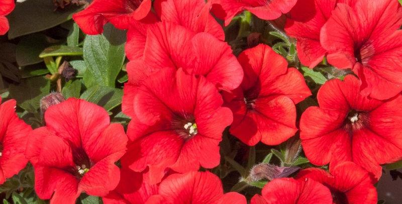 Surfinia Hot Red (Barquette de 6 plants)