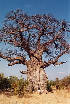 Baobab Tree. Source_ Wikimedia