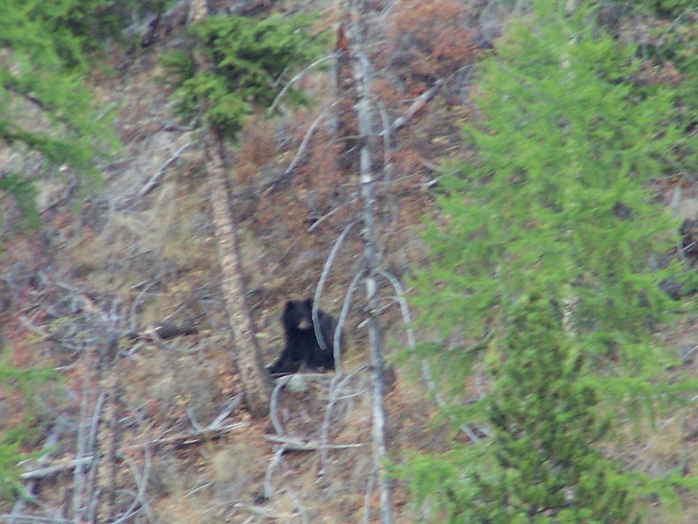 Local bears.