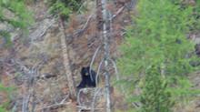 Local Bears