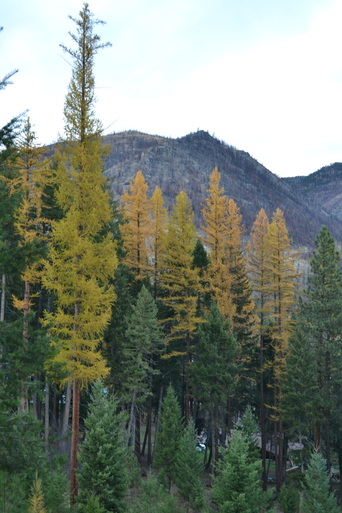 The larch have been fantastic.