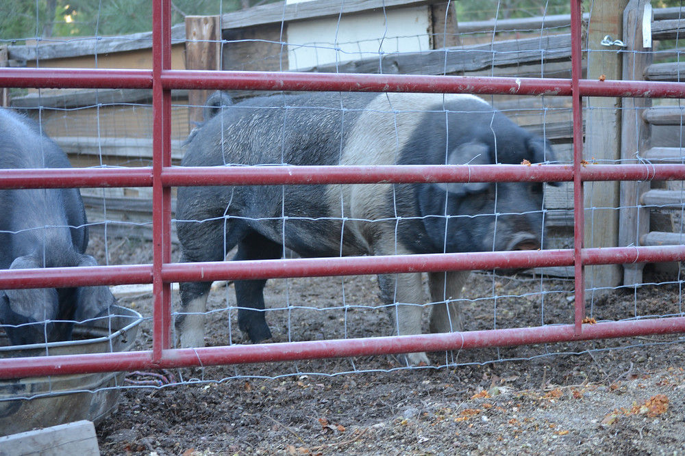 What would you do if your 600 pound boar decided to take a stroll on the ranch road.  He managed to unlock the gate himself!
