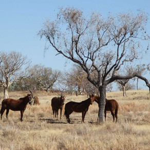 NT Police investigate deaths of 30 station horses after feral shooting allegedly goes wrong