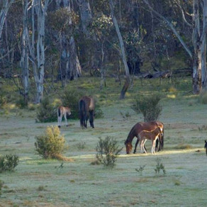 Brumby population to be culled in Victoria after Federal Court dismisses heritage concerns