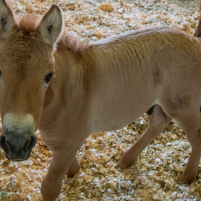 World's first cloned Przewalski horse comes from DNA preserved at San Diego Zoo 40 years ago