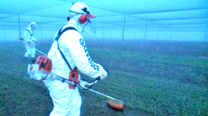 Greenpeace protesters used string trimmers to destroy the entire crop of CSIRO's GM wheat.