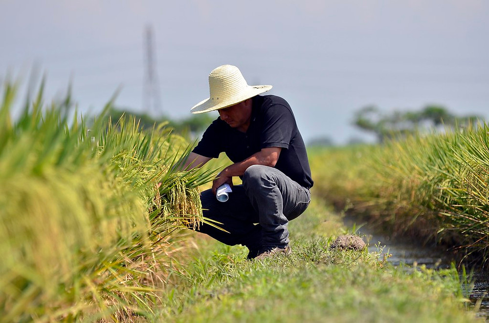 CIAT rice scientist Edgar Torres inspects plot of high yielding rice at the institution's headquarters in Colombia