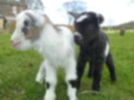 2 new born pigmy goats