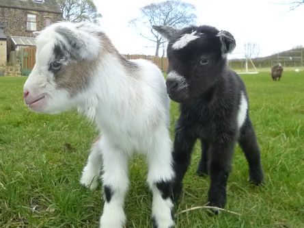 2 new born pigmy goats