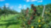 My orchard 我家的果园
