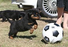 Darkgypsy Puppy